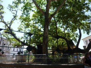 Plane tree that Hippocrates practiced medicine under just outside the castle gates