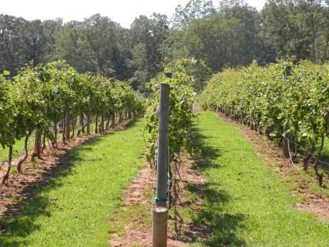 Serenberry Vineyard
